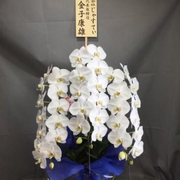 素敵な胡蝶蘭の販売を開始。