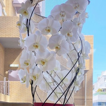 斬新なデザインの胡蝶蘭
